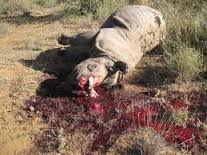 terrible but neccesary image of a poached rhino.  Stop the carnage!