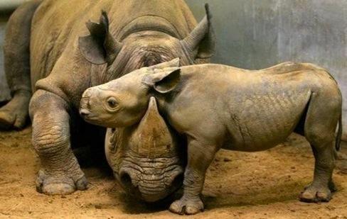 rhino mum and calf