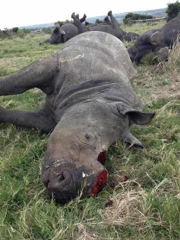 Rhino killing fields