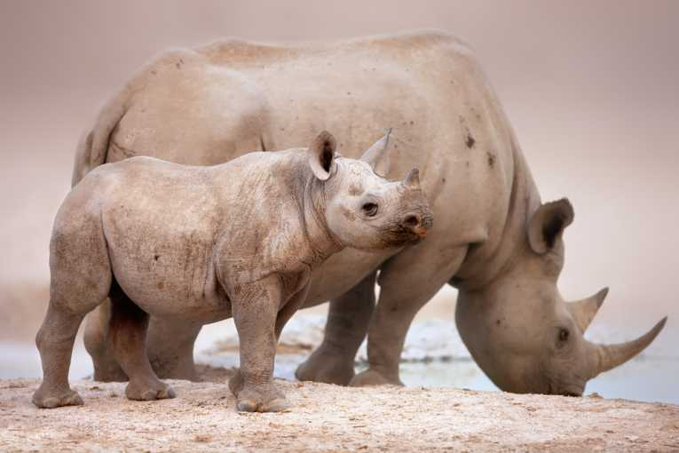 Black rhinos need your support